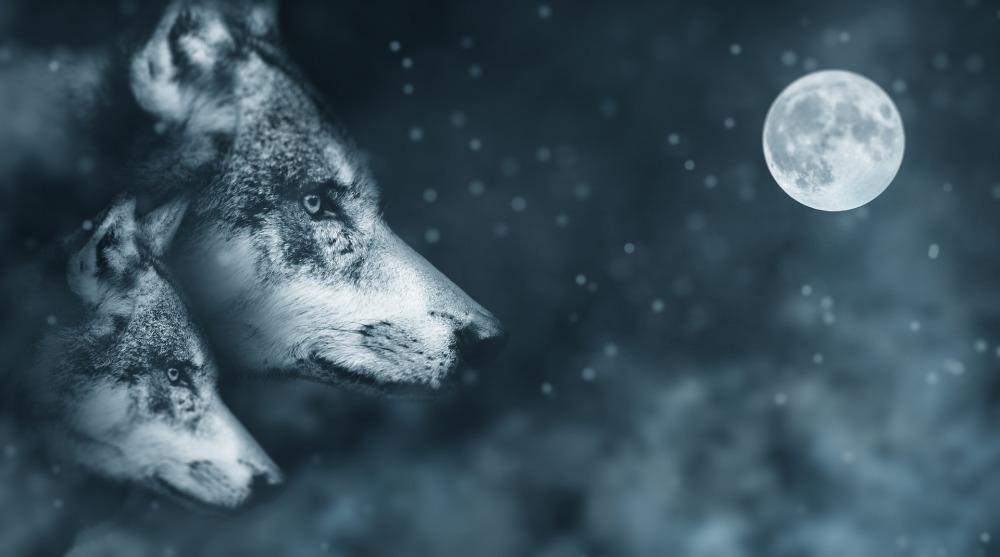 wolf-2018051_1920